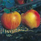 Karin Kneffel, Äpfel vor Landschaft, o. J.